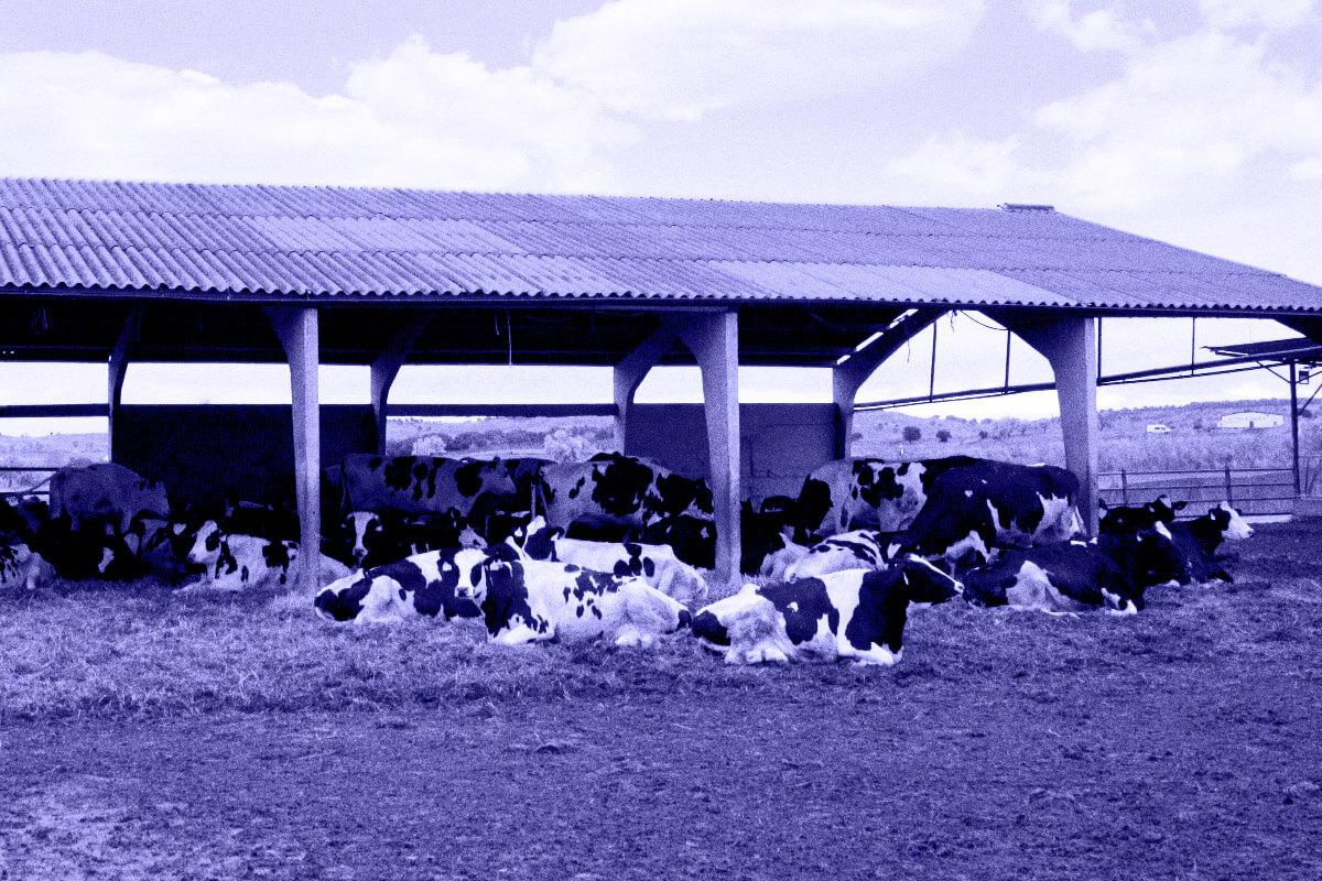 descanso vacas